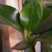 濃い緑の大人の葉っぱとは違う、黄緑色の葉っぱがにょきっと生えます♪